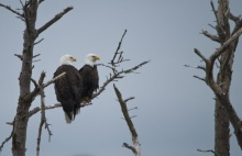 Not all couples show affection the same way. Clearly. Eagles mate for life, choosing the tops of large trees to build nests, which they typically use and enlarge each year. Nests may reach 10 feet across and weigh a half ton. Breeding bald eagles typically lay one to three eggs once a year. Learn more about bald eagles. Photo by Roy W. Lowe. From the Department of the Interior blog, 2/13/17.