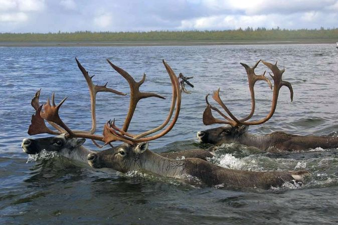 Three bull caribou navigate the Kobuk River at Selawik National Wildlife Refuge in Alaska. Tweeted by the US Department of the Interior, 12/24/16.