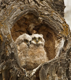 Nothing says love like these two great horned owlets snuggling in a heart-shaped hole. They nest earlier in the year than most birds, so great horned owl babies are ready to hunt when other wildlife young are easy prey. Photo from Grand Teton National Park by Jon LeVasseur. From the Department of the Interior blog, 2/13/17.