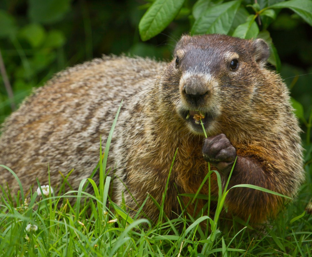 "Groundhogs have short ears and a short tail, and can weigh up to 11 pounds. They have two layers of fur: A dense grey undercoat and a longer coat of banded guard hairs that gives the groundhog a ""frosted"" appearance. Despite how they look, groundhogs are good swimmers and tree climbers. Photo of a groundhog eating a flower at Shenandoah National Park by National Park Service. Posted on Tumblr by the US Department of the Interior, 2/2/17."