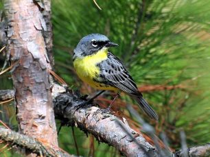 Kirtland's Warbler Wildlife Management Area, part of the National Wildlife Refuge System, was established in Michigan for the benefit of the endangered Kirtland's warbler. Photo by Joel Trick/USFWS, from the US Fish & Wildlife Service website.