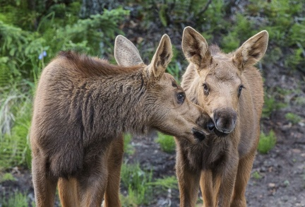 Moose calves nuzzle each other while posing for the camera. Female moose (called cows) give birth to 1-3 calves, with triplets being rare. At birth, calves weigh 28-35 pounds and pack on weight quickly -- reaching 300+ pounds within five months. Photo from Fortymile Wild and Scenic River by Bob Wick, Bureau of Land Management. From the Department of the Interior blog, 2/13/17.