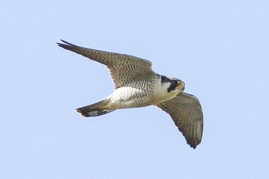 The Peregrine Falcon is a very fast, averaging 25-34 mph in traveling flight, & reaching up to 69 mph in pursuit of prey. Photo by Ron Knight / CC. Tweeted by the US Department of the Interior, 2/21/17.