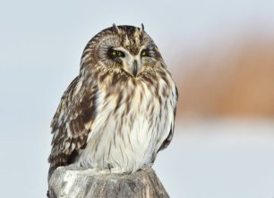 Short-Eared Owl. Photo by Tom Koerner. Tweeted by the US Department of the Interior, 2/4/17./