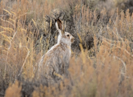 White-tailed jackrabbit on Seedskadee National Wildlife Refuge. As spring approaches, the white winter coat is slowly replaced with a brown coat on this white-tailed jackrabbit. Photo: Tom Koerner/USFWS. Posted on Flickr by the US Fish & Wildlife Service, 3/22/17.