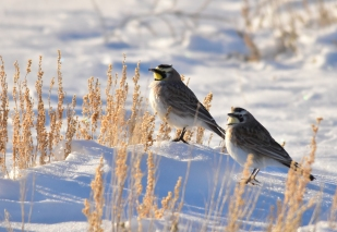 Horned Larks, Wyoming big sagebrush and snow on Seedskadee National Wildlife Refuge. Photo: Tom Koerner/USFWS. Taken 3/1 & posted on Flickr by the US Fish & Wildlife Service.