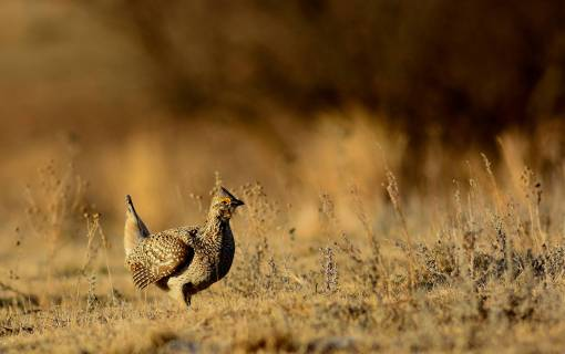 Sharp-tailed Grouse. Photo by Rick Bohn / USFWS. Posted on Flickr by the US Department of the Interior, 4/12/17.