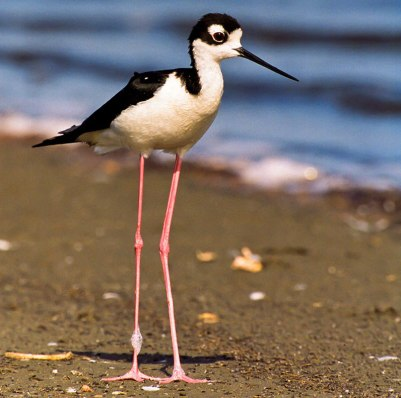 Black-necked stilts have the second-longest legs in proportion to their body in the bird world, exceeded only by flamingos. You can spot black-necked stilts at San Diego Bay National Wildlife Refuge, where this photo was taken. Photo by Rinus Baak/USFWS. From the US Fish & Wildlife website.