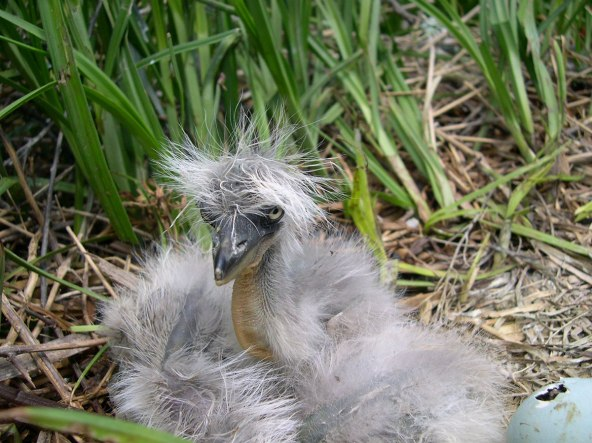 Bad hair day. A great blue heron chick tries out a punk look at Bear River Migratory Bird Refuge in Utah. In migration season, millions of birds stop to rest and feed in refuge wetlands in the Great Salt Lake ecosystem. Some stick around to nest. Photo by Brian Ferguson/USFWS. From the US Fish & Wildlife website.