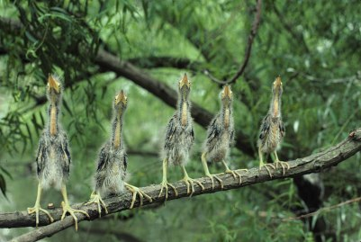 Five young green herons scan the sky avidly for signs of their next meal at Wheeler National Wildlife Refuge in Alabama. Photo by Roy W. Lowe. From the US Fish & Wildlife website.