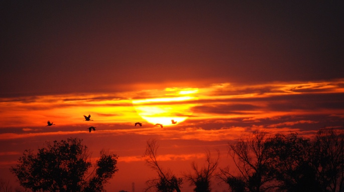 A flock of Sandhill cranes pass in front of a setting sun on Pixley National Wildlife Refuge. Photo by Byrhonda Lyons/USFWS. Posted on the US Fish & Wildlife Service website, Pacific Southwest Region.