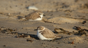 Coastline visitors will be sharing beaches from Washington state to Baja California, Mexico, with smaller residents as spring approaches. Breeding season for the western snowy plover begins in March and continues through September. Photo from the USFWS, from an article posted on the US Fish & Wildlife Service website, Pacific Southwest Region.