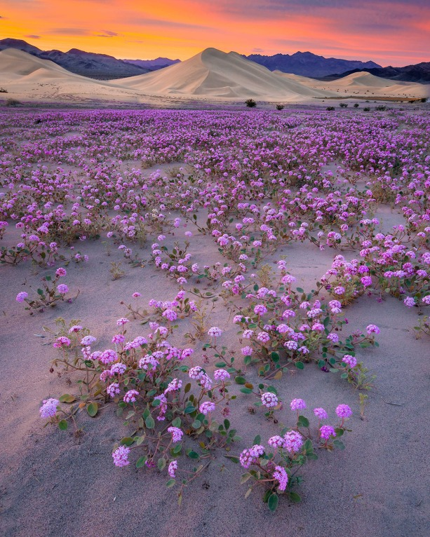 Death Valley National Park is famous for its spectacular spring wildflower displays. While the intensity of the bloom varies greatly from year to year, flowers are never totally absent. This year, wildflowers are generally sparse along popular scenic routes, but intrepid photographers like Michael Hardridge are finding desert sand verbena blooming at Ibex Dunes, a remote area that requires a 4-wheel drive vehicle and good route finding skills. Sunset photo taken on March 4 by Michael Hardridge. Posted on Tumblr by the US Department of the Interior, 3/18/17.
