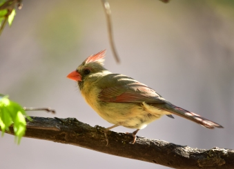 A female Northern cardinal on Flint Hills National Wildlife Refuge. Photo by Tom Koerner/USFWS. Tweeted by the US Fish & Wildlife Service, 4/24/17.