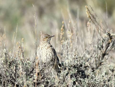 A sage thrasher perched on a Wyoming big #sagebrush. Photo by Tom Koerner/USFWS. Posted on Facebook by the US Fish & Wildlife Service, 5/2/17.