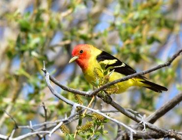 Male western tanager on Seedskadee National Wildlife Refuge. Photo by Tom Koerner/USFWS. Posted on Flickr by the US Fish & Wildlife Service; taken 5/25/17.