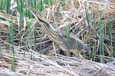 "The American bittern is a rare sight...not because they are uncommon, but because of their secretive, solitary nature and streaky camouflage. They are more commonly heard than seen. Their call is an odd sound that could be described as ""gulping"". Their nicknames include: ""stake-driver,"" ""thunder-pumper,"" ""water-belcher,"" ""mire-drum, and ""shy-poke"". They commonly eat fish, frogs, and insects, and have the ability to focus their eyes downward (making them appear cross-eyed at times). The bittern will stand completely still and point its bill into the air to blend in with the vegetation around it. This bittern is using a wetland protected by a FWS wetland easement in the Kulm Wetland Management District in North Dakota. Photo by Krista Lundgren/USFWS. Taken 5/16/17 and posted on Flickr by the US Fish & Wildlilfe Service."