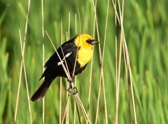 Yellow headed blackbird on Seedskadee National Wildlife Refuge. Photo by Tom Koerner/USFWS. Taken 6/8/17 & posted on Flickr by the US Fish & Wildlife Service.