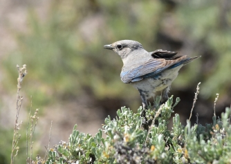 Mountain Bluebird on Seedskadee National Wildlife Refuge. Photo by Tom Koerner/USFWS. Taken on 6/10 and then posted on Flickr by the US Fish & Wildlife Service.
