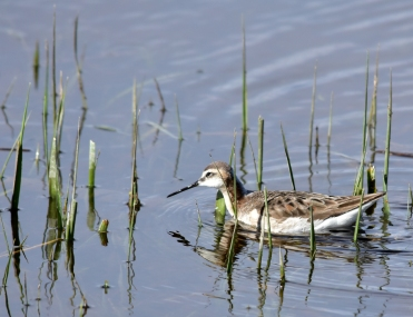 A red necked phalarope (adult male) on Seedskadee National Wildlife Refuge. Photo by Tom Koerner/USFWS. Taken 5/21/17 & posted on Flickr by the US Fish & Wildlife Service.