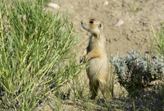 White-tailed prairie dog on Wyoming's Seedskadee National Wildlife Refuge. Photo by Tom Koerner/USFWS. Taken 6/5/17 and posted on Flickr by the US Fish & Wildlife Service.