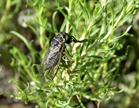Sagebrush Cicada (Okanagana luteobasalis) sitting on Rabbitbrush on the Seedskadee National Wildlife Refuge The Sagebrush Cicada life cycle is not the same as the 17 year cicada ... these live as a larvae for seven years, then the pupae emerge as adults, mate, and lay eggs before dying. When the eggs hatch, the larvae burrow down along a sagebrush root and live underground for 7 years. Photo by Tom Koerner/USFWS. Taken on 6/5/17 and posted on Flickr by the US Fish & Wildlife Service.