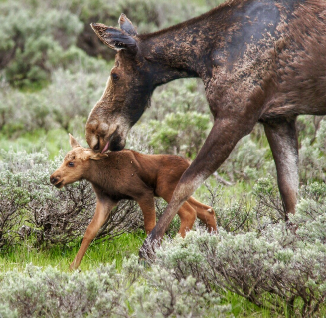 While moose are usually solitary, cows have strong bonds with their calves and are extremely protective. Newborn moose (usually born in early summer) have a reddish hue to their fur when born and will stay with their mother for a year. Photo taken at Wyoming's Grand Teton National Park by Athena Burns. Posted on Tumblr by the US Department of the Interior, 5/14/17.